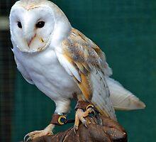 Barn Owl ...........Escot. Devon UK by lynn carter
