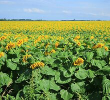 Field of Sunflowers on a Farm by rhamm