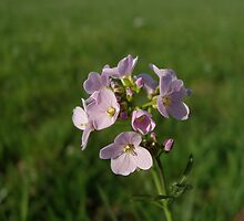 Cuckooflower on a soft green background by Conor Donaghy