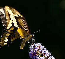 Eastern Tiger Swallowtail Butterfly on Butterfly Bush by onyonet photo studios