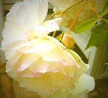 Vintage Rose in Norfolk. by iamhannahjones