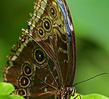 Blue Morpho (Morpho peleides) by Mark Hughes