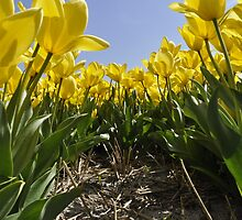 Yellow Tulips by Frits Klijn (klijnfoto.nl)