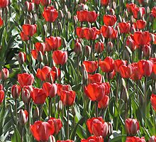 Red tulips by Frits Klijn (klijnfoto.nl)