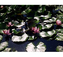 Waterlilies Pool - Sigurtà - Italy Photographic Print