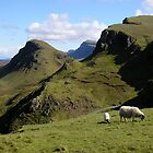 Scottish Sheep, Isle of Skye by Bonnie MacAllister