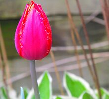 A Single Tulip by linda47hall
