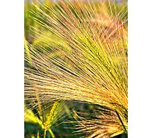 Foxtails 2 Photographic Print