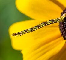 Inchworm Reaching out  by Daniel  Parent