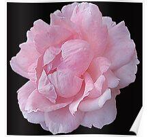 Pastel Rose Poster