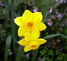 'JUST THE TWO OF US!' Jonquils Soleil d'or. by Rita Blom