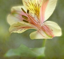 Alstroemeria by Laura  Knight