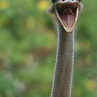 Ostrich by Gregory L. Nance