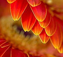 Festive gerberas by Celeste Mookherjee