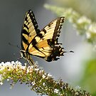 Soft Wings by Monte Morton