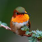 Male Rufous hummingbird enjoying a morning after a thunderstorm... by Bluecornstudios