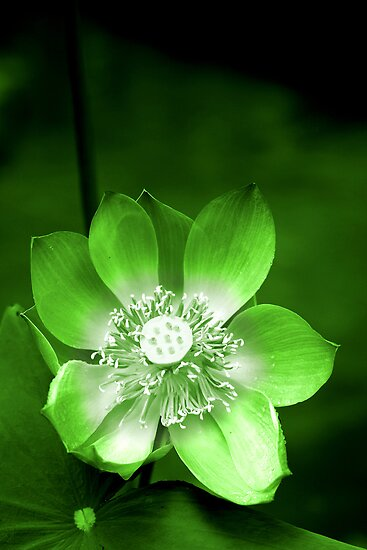 Green Lotus Flower, or Water Lily