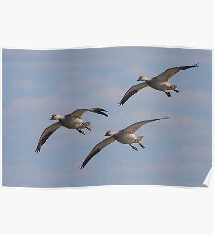Snow Geese Trio Poster