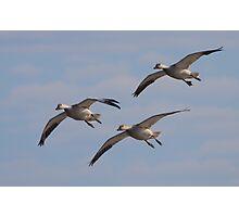 Snow Geese Trio Photographic Print