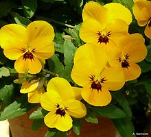 Yellow Pansies in the Sun by Angela Gannicott
