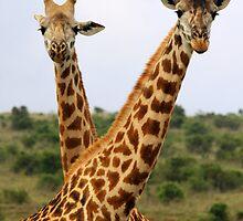 Two Male Giraffes by Jennifer Sumpton