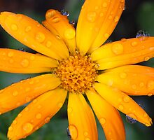 Calendual/Marigold 4 by JRHPhotography