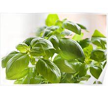 Fresh Ocimum basilicum Poster