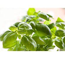Fresh Ocimum basilicum Photographic Print