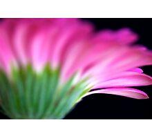 Pink Gerbera II Photographic Print