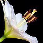 White Lily II by Mihaela Limberea