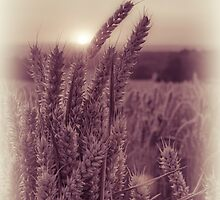 Wheat by cameraimagery