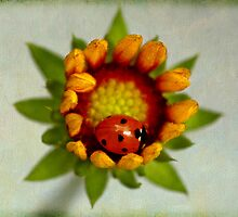 In My Blackburn Gaillardia Home by inkedsandra