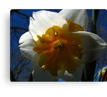 Narcissus in shadow Canvas Print