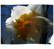 Narcissus in shadow Poster