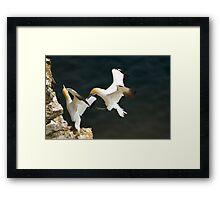 Gannet Fight Framed Print
