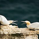 Gannet Argument by Chris West