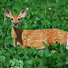 White tailed Deer by Crystal Davis Photography