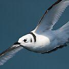Juvenile Kittiwake in Flight #1 by Chris West