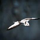 Juvenile Kittiwake in Flight #2 by Chris West