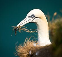 Gannet with Nest Material by Chris West
