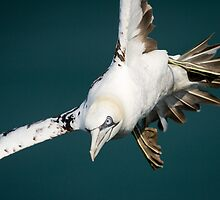 Gannet in Flight #2 by Chris West