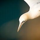 Gannet in Flight #4 by Chris West