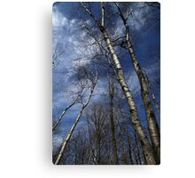 Birches Leaning Canvas Print