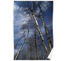 Birches Leaning Poster
