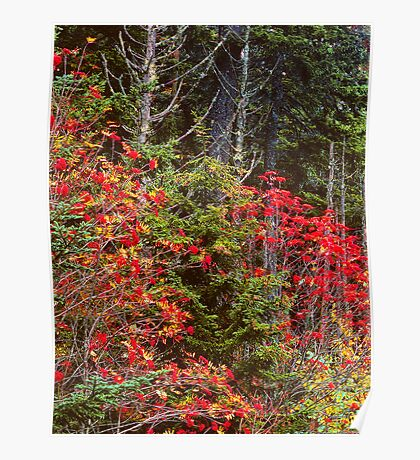 MOUNTAIN ASH,AUTUMN Poster