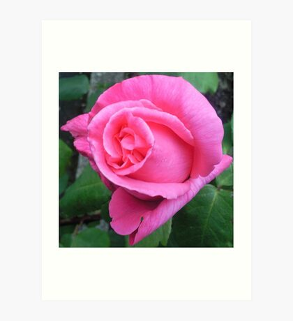 Opened pink rose Art Print