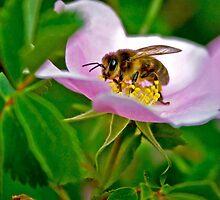 Bee on Pink Flower by lookagain