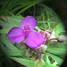 Spiderwort by orko