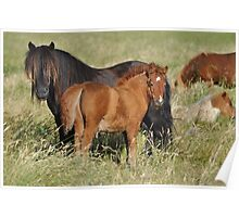 Shetland mare and foal - Fenwick Stud Poster