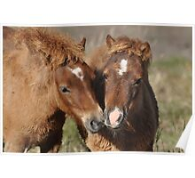 Two Chestnut Shetland Pony Foals Poster